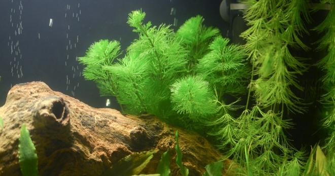 Подробное описание роголистника и особенности содержания в аквариуме
