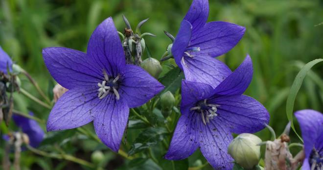 Платикодон крупноцветковый в домашних условиях: фото цветка