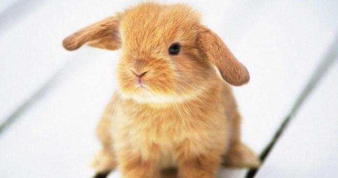 Особенности появления ушного клеща у кроликов, профилактика и лечение животных в домашних условиях