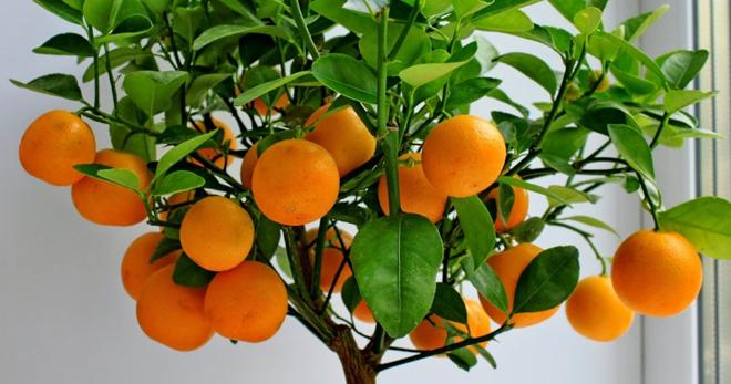 Как посадить апельсиновое дерево