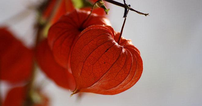 Съедобное украшение выращиваем физалис ананасовый