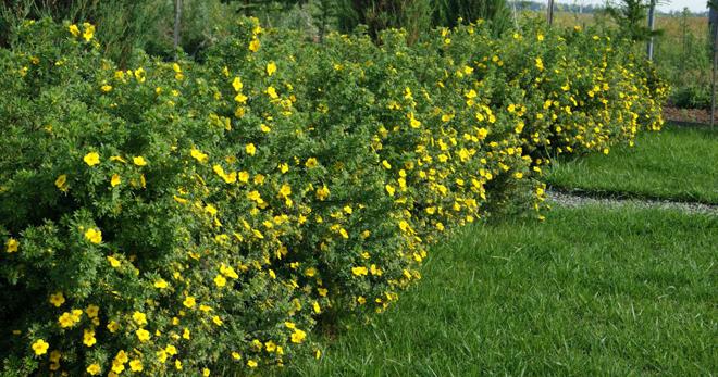 Лапчатка кустарниковая размножение уход и выращивание