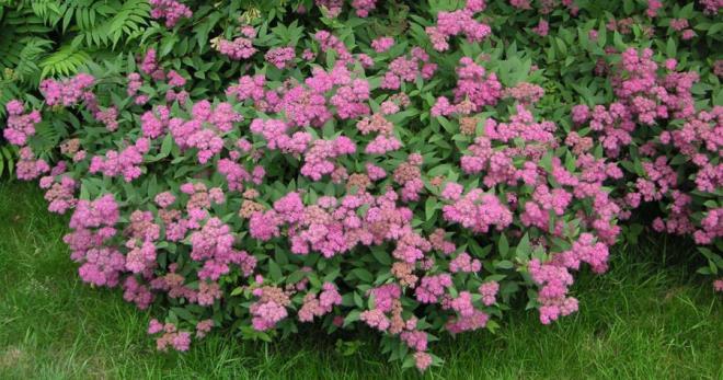 Спирея - секреты выращивания цветка на садовом участке