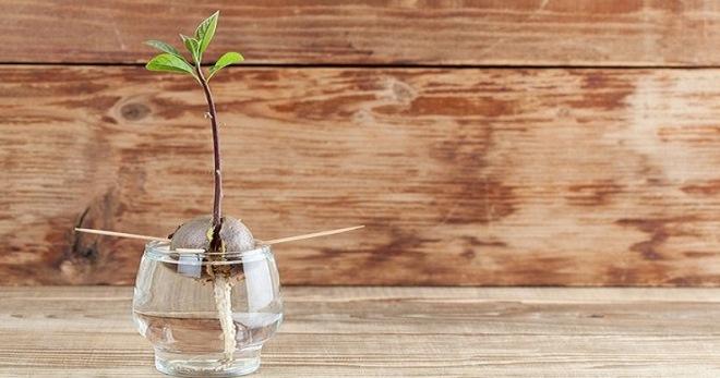 Как вырастить авокадо из косточки в домашних условиях?