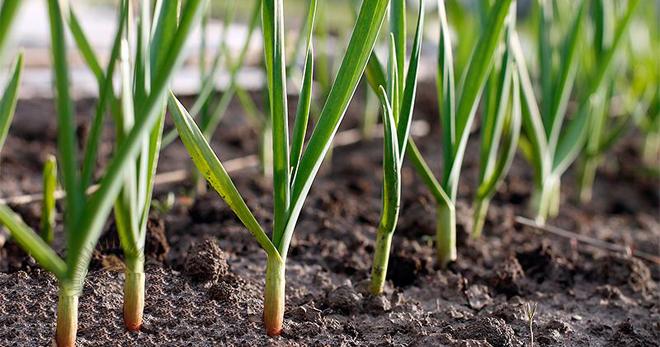 Выращивание чеснока - уход и секреты выращивания