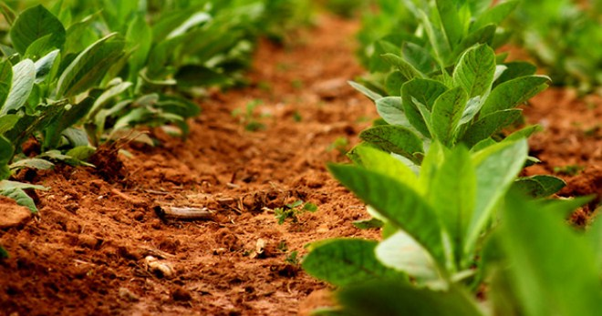 Свой табак - выращивание и уход