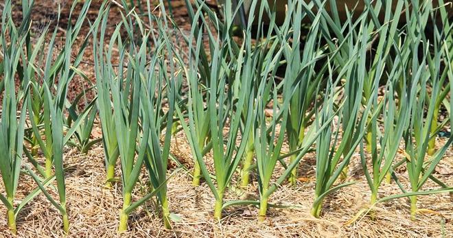 Обработка чеснока перед посадкой под зиму: как чистить семя для посадки, как протравить луковицы для посадки