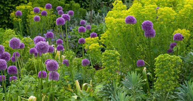 Как вырастить лук декоративный из семян