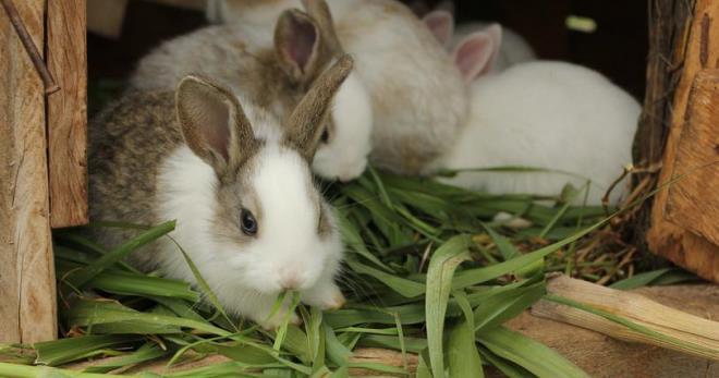 Светлая ферма - Кокцидиоз кроликов