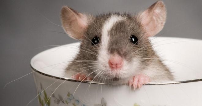 Правильное содержание декоративных крыс дома