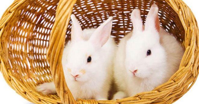 Декоративные кролики - уход и содержание в квартире Декоративные Кролики Уход