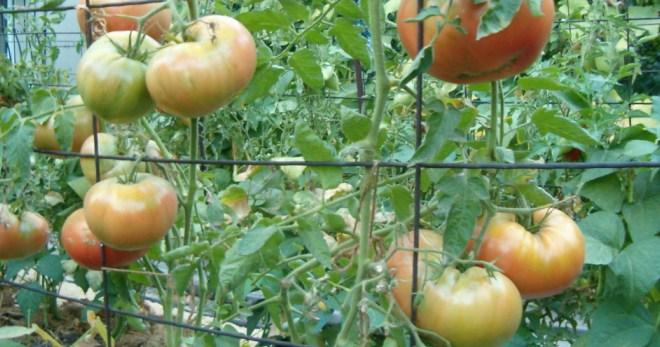 Как в теплице подвязывать помидоры: способы подвязки и приспособления для томатов