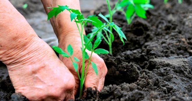 Посадка томатов в открытый грунт. Схемы посадки томатов