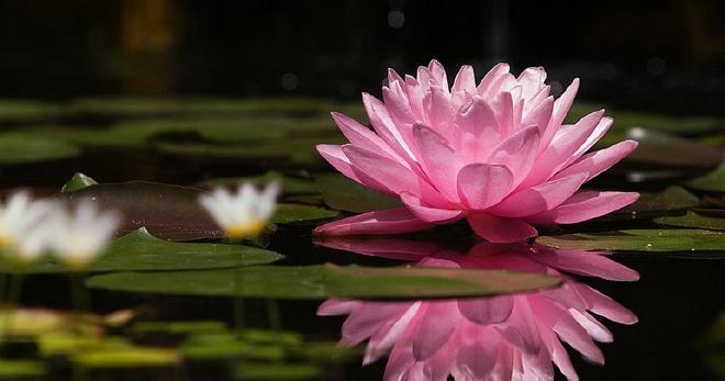 Красавица нимфея в Вашем саду, как правильно ухаживать за нимфеей в пруду?