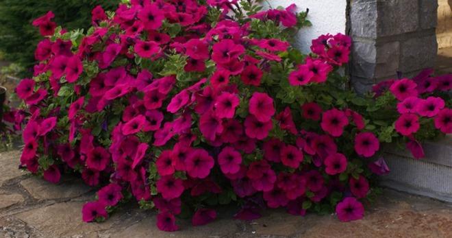 Как вырастить семена петунии в домашних условиях 74