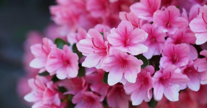 Как ухаживать за азалией летом и во время цветения; как купить азалию и советы по выращиванию азалии