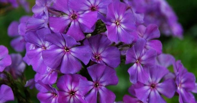Многолетние цветы уход за ними 68