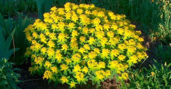 молочай садовый многолетний посадка и уход фото