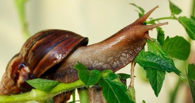 Что ест улитка ахатина в домашних условиях 22