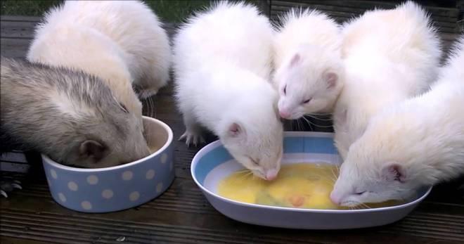 Что едят хорьки и как их кормить