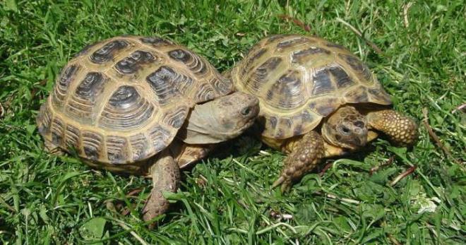 Сухопутная черепаха в домашних условиях более 20 лет
