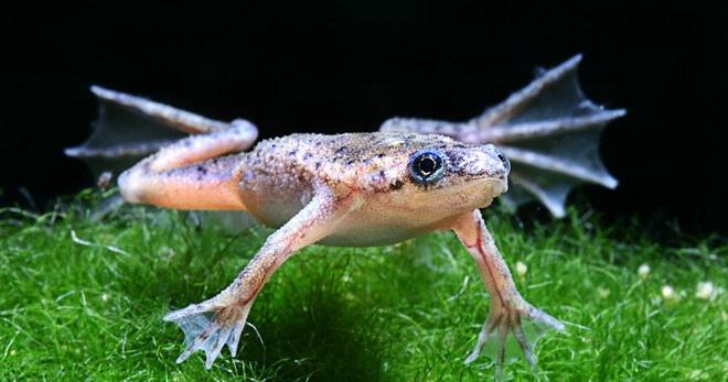 Аквариумные лягушки содержание кормление уход — Drugdoma