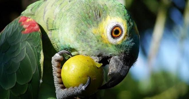 Чем кормить попугая корелла, ара, розелла, какаду, волнистого, жако, ожерелового? Что можно и что нельзя давать попугаю?
