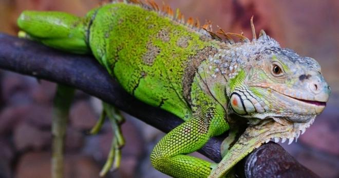 zelenaya_iguana.jpg
