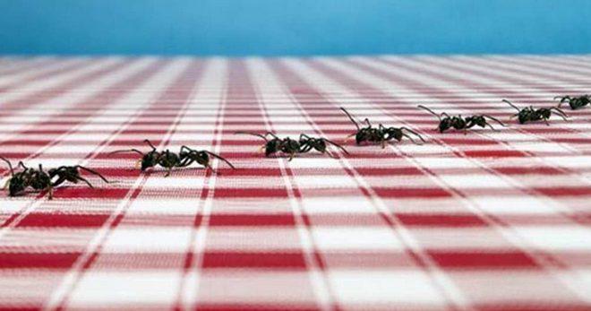 Красные муравьи в квартире причины