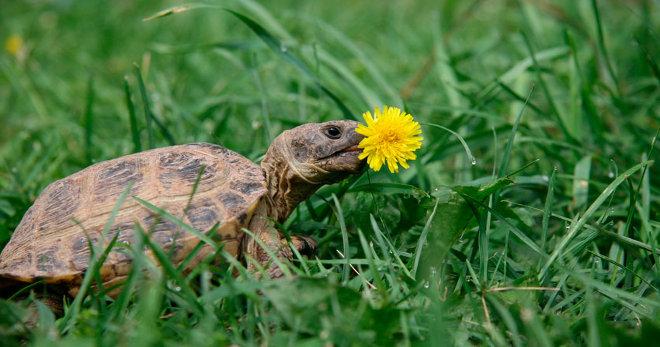 Красноухая черепаха не ест – причины и лечение. Почему красноухая черепаха не ест