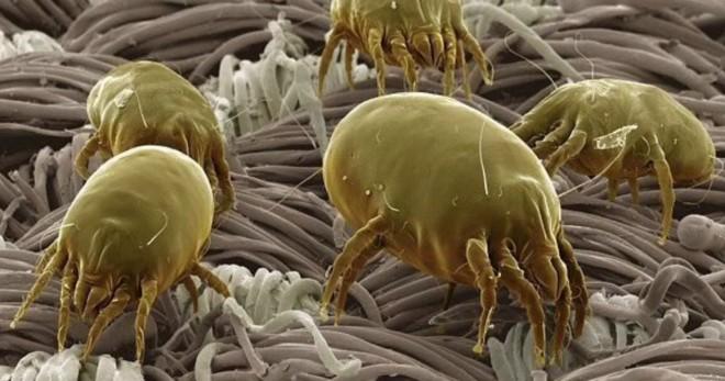Как избавиться от пылевых клещей в домашних условиях