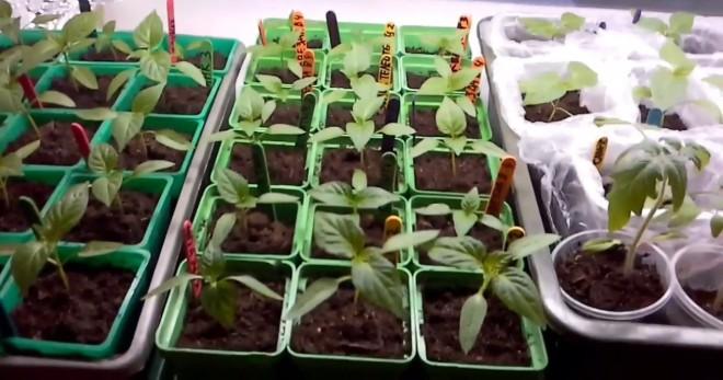 Рассада в феврале, что лучше сажать для получения самого раннего урожая?