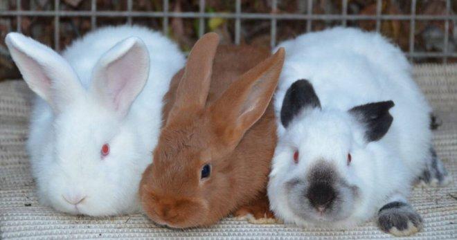 Самые ценные редкие мясные породы кроликов: на заметку кролиководам