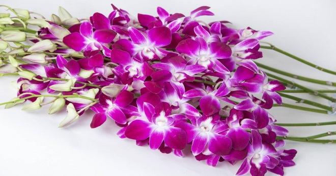 Картинки по запросу орхидея дендробиум
