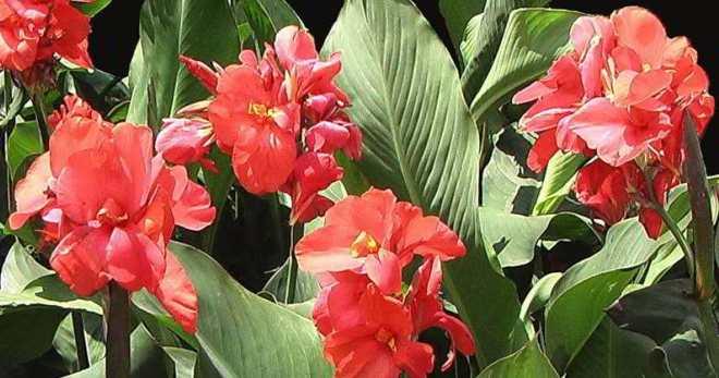 Теплолюбивый цветок Канна - как правильно выращивать в домашних условиях и в саду