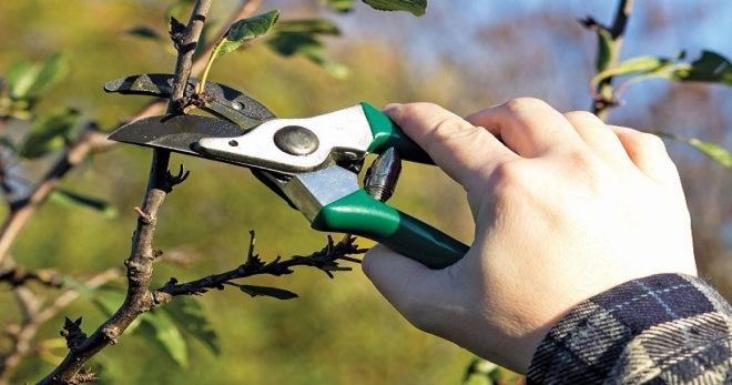 Чем замазать спилы на плодовых деревьях осенью