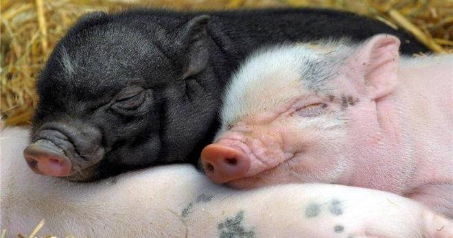 Свиньи мясной породы: самые лучше, крупные, их описание и фото