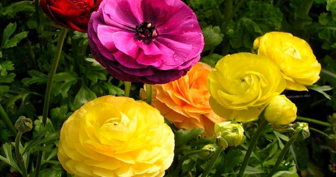 Успешное выращивание лютиков садовых