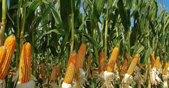 Как вырастить большой урожай кукурузы у себя на участке