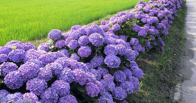 Обрезка древовидной гортензии весной — Цветок домашний