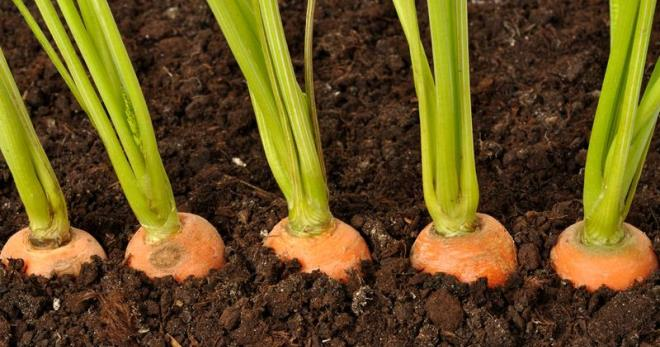 как сажать буряк семенами в открытом грунте