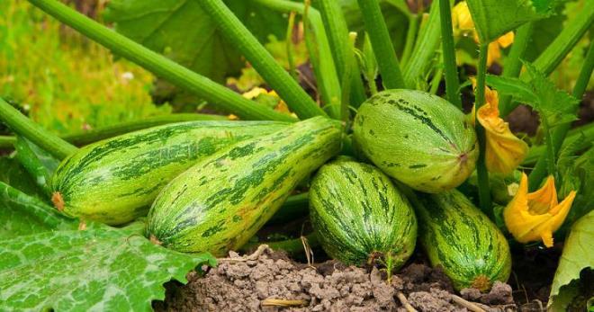 кабачки правильная посадка семян