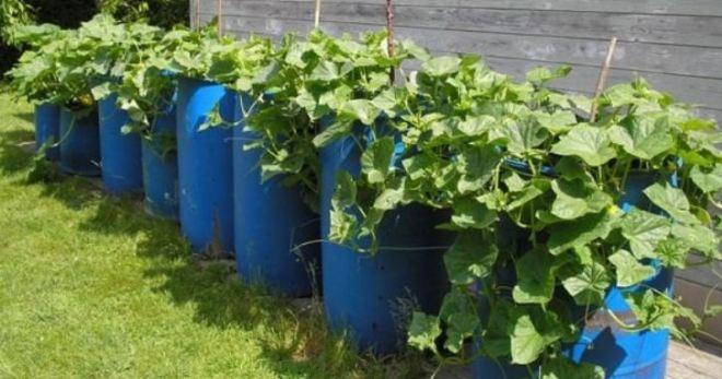 Огурцы в бочке выращивание