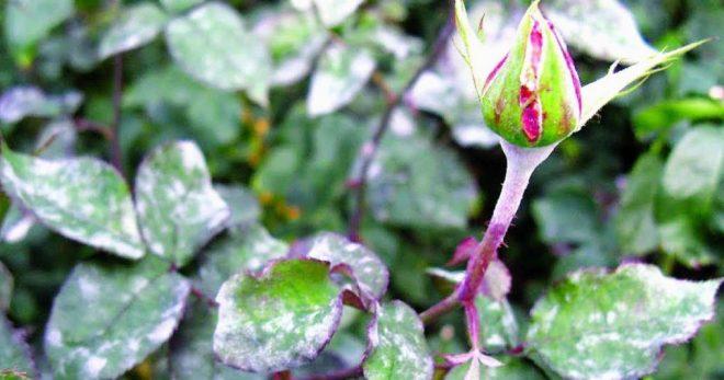Народные средства от мучнистой росы на розах