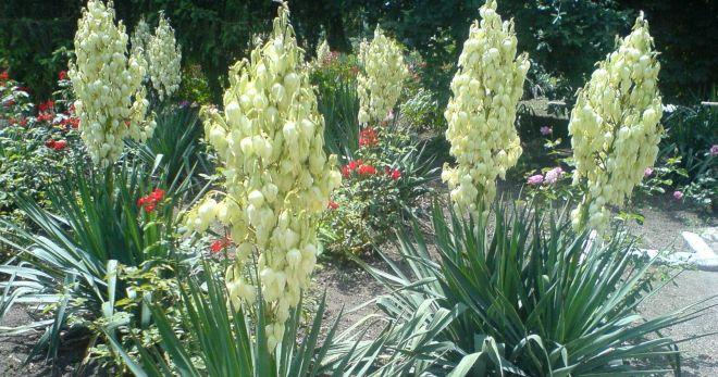 Юкка садовая посадка и уход.. Особенности выращивания юкки садовой. Юкка садовая