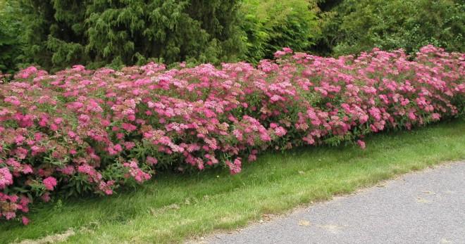 Спирея Макрофилла 31 фото описание спиреи японской Macrophylla использование в ландшафтном дизайне и обрезка посадка и уход
