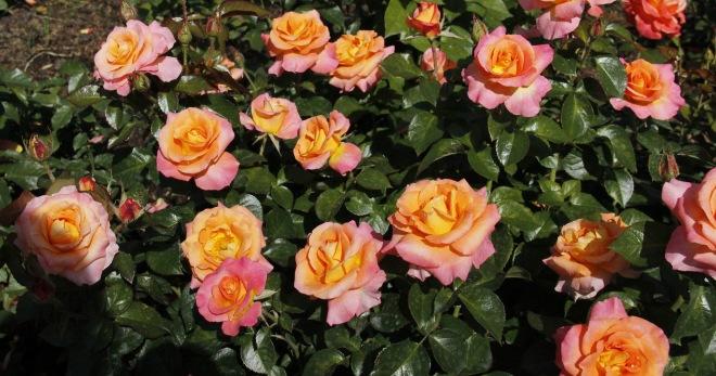 Чайно-гибридные розы  правила посадки и ухода