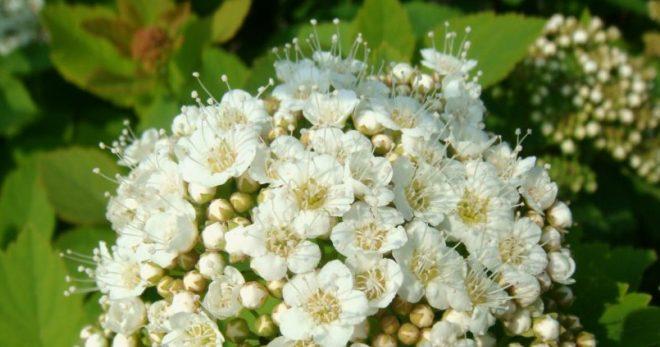 Растение спирея березолистная - посадка и уход, обрезка