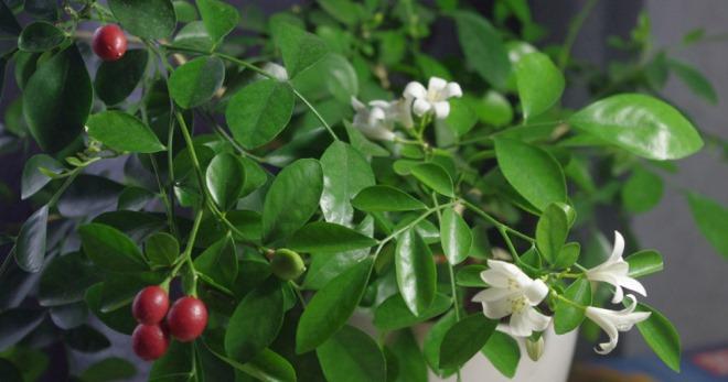 мурайя цветок размножение семенами в домашних условиях