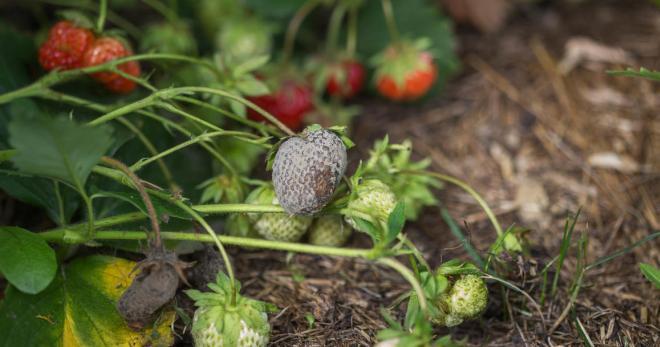 Спасаем урожай клубники от гнили йодом и перекисью водорода